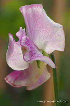 The attractive flowers of Lathyrus odoratus 'Lady Nicholson' feature a mauve stripe on a white ground.