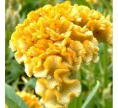 Celosia Cristata Yellow250