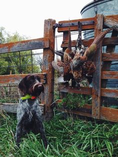 Pheasants & GWP https://www.facebook.com/The.Hunting.Experience