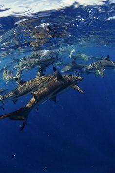 Blacktip Reef Sharks byAlexis Rosenfeld