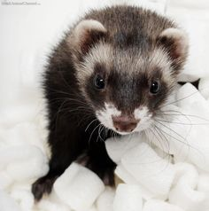 National Ferret Day .... April 2!! One woman's efforts end further uncertainty about National Ferret Day, as she works to have it recognized in Chase's Calendar Of Events.