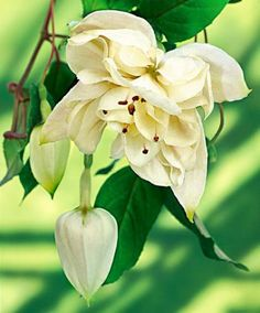 Staande fuchsia Annabell | Planten | Bakker Hillegom
