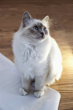 A Birman likes to communicate with people, but does so in a soft tone. This is a gentle cat who plays gracefully and enjoys learning some tricks in a dignified style.