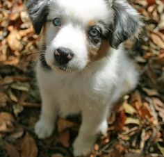 Seriously, those eyes! I can't survive much longer without an Australian Shepherd in my life..