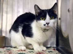 SUPER URGENT 4/5/18 !!! SHARE !!! Tuxedo Beauty queen AJ is looking for a quiet home to relax in @MACC. AJ was brought in by her owner. She is very upset at being left at the shelter and needs a home asap where she can decompress.  Please adopt this pretty girl today.