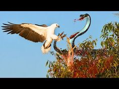 Eagle Attack Snakes - Amazing Animal | Eagle vs Snake Real Fight
