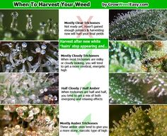 Eye-balling is the quick-and-dirty way to know when to harvest your weed. But for the mad scientists out there who grow weed, you can use this guide and a microscope to pick the absolute perfect time to harvest your meds.