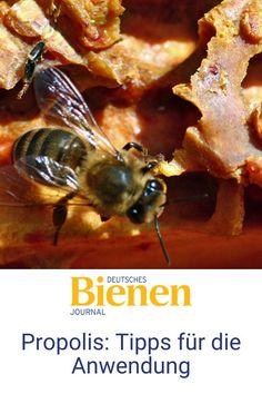 Im Rahmen ihrer Diplomarbeit hat Biologin Nadine Kunz an Propolis geforscht. Die Mitarbeiterin am Julius Kühn-Institut in Braunschweig beantwortet fünf Fragen zu dem besonderen Stoff aus dem Bienenvolk. Denn bei der Anwendung gilt es einiges zu beachten. Unachtsamkeit kann hier sogar zu Allergien führen. #bienen #imkern #propolis #anwendung #biene #anfänger Forever Living Products, Bee, Allergies, Honey, Diy, Honey Bees, Bees
