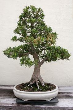 Buddhist Pine (Podocarpus Macrophyllus)