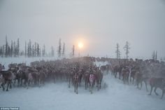 As the nearest settlements are often over 100 miles away, the Nenets live a transient life herding the reindeer across the remote and harsh Arctic tundra