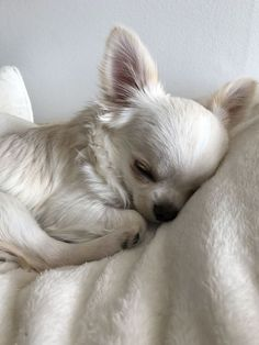 Pinterest Cute, Cute Puppies, Dogs And Puppies, Doggies, Support Dog, Emotional Support Animal, Chihuahua Love, Teacup Chihuahua Puppies, Little Dogs