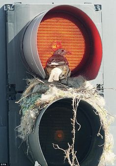 Red light: The plucky bird built her roost inside a traffic light on one of Leeds' busiest junctions