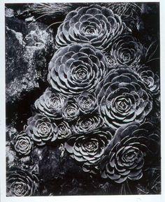 Imogen Cunningham: Hen and Chickens, 1930 - gelatin silver print Straight Photography, Fine Art Photography, Negative Space Photography, Photography Ideas, Nature Photography, Portland, Oregon, Imogen Cunningham, Gelatin Silver Print