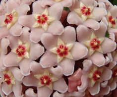 Hoya carnosa [Family: Apocynaceae] flowering in Hobart, Tasmania, Australia - 'Seeing Stars' - Flickr - Photo Sharing!