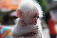 he almost looks like a lil tiny grandpa monkey...i wanna hold him!