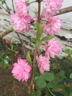 Dwarf flowering almond prunus glandulosarosea plena we have a dwarf flowering almond mightylinksfo