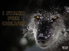 NY Wolf Center @nywolforg   Do. Or do not. There is no try.  #StandForWolves #StarWarsTheForceAwakens