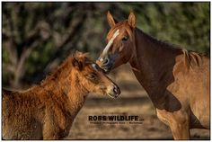 A Mothers Love. Mama and baby wall art. This special mama and baby moment was photographed by National Geographic award winning wildlife photographer Rob Daugherty. These two horses were part of a large wild horse herd just outside of Phoenix, Arizona. This Mothers Love horse photography print shows the affectionate bond a mother has with her young. The horse print is the perfect for horse lovers, a nursery, office, and a grea