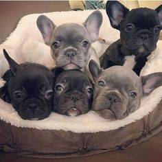 The major breeds of bulldogs are English bulldog, American bulldog, and French bulldog. The bulldog has a broad shoulder which matches with the head. French Bulldog Blue, French Bulldog Puppies, Frenchie Puppies, Miniature French Bulldog, Cute Puppies, Cute Dogs, Dogs And Puppies, Doggies, Toy Dogs