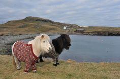 Shetland ponies in cardigans | Flickr - Photo Sharing!