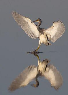 tricolorheron landing| Flickr - Photo Sharing!
