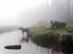 Amazing photo of a moose through the mist at Rocky Mountain National Park in…