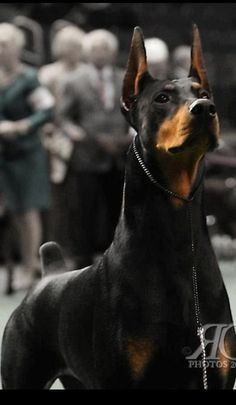 Doberman Pinscher: Black & Tan_ One of my favorite pure athletes.