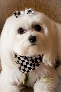 17 month old Sophie is a full blooded Maltese.