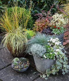 Patio and Containers 1 x 4 Litre Pot Potted Garden Plants Ideal for Cottage Gardens Deciduous Flowering Shrub Thompson /& Morgan Hardy Perennial Corkscrew Hazel /'Contorta/'