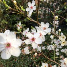Spring blossoms in the park Spring Blossom, Blossoms, My Photos, Park, Instagram Posts, Plants, Flowers, Parks, Flora