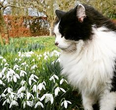 """5,529 Likes, 42 Comments - @nationaltrust on Instagram: """"Craig the @ntgunbyhall cat also enjoys a stroll through the snowdrops… #nationaltrust"""""""