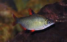 Silver Distichodus (Distichodus affinis)