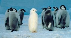 Not all emperor penguins sport black-and-white tuxedoes. Scripps reseacher Gerald Kooyman spotted this unique all-white emperor chick, dubbed Snowflake, during a penguin survey on the ice shelf of the Ross Sea, Antarctica