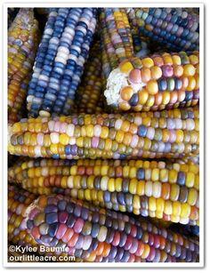 'Glass Gem' corn