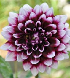 I have this dahlia; I planted a bulb this spring. It bloomed from late aug. until Oct. and was beautiful.