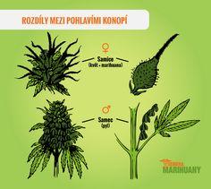 pohlaví rostliny - samec a samice konopí
