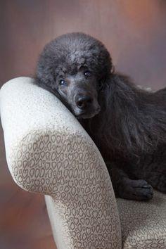 Standard poodle - Atlanta Dog Photography