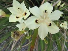 Image result for dietes plants