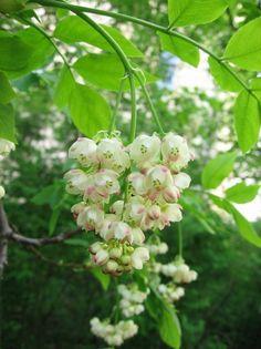 Staphylea pinnata - Bladdernut (pimeprnöt) Edible nuts, heritage shrub Plants, Garden, Woodland Garden, Perennials, Shrubs, Flower Images, Trees To Plant, Flowers, Unusual Plants