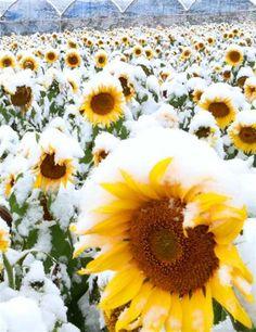 季節外れのヒマワリが咲き誇る畑に雪が降り積もり、不思議な光景が広がっている=24日、山梨県北杜市明野町(外崎晃彦撮影)