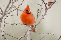 Great photo to use as reference for coloring a stamped cardinal. Male Cardinal