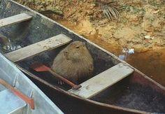 Capybara bebe going for a float :)