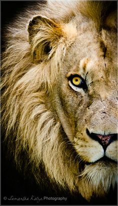 Male Lion Photographer - Samantha Kotze