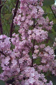 Link του Μήνα Syringa Vulgaris, Trees, Purple, Garden, Plants, Photos, Garten, Pictures, Tree Structure