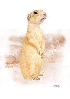 New wildlife print of a white-tailed prairie dog