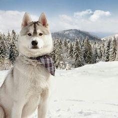 Siberian Husky in the snow with a cute plaid bandana on...aww! ❤