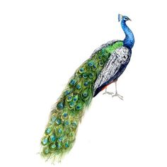 Pretty Peacock Art Print of Original Watercolor Painting green blue... ❤ liked on Polyvore featuring home, home decor, wall art, peacock wall art, blue green wall art, peacock home decor, aqua wall art and bird home decor