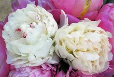 This is beauty right here....my fav flower-Peonies