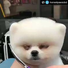 Funny Dogs Memes So Cute 59 Trendy Ideas Cute Funny Animals, Cute Baby Animals, Funny Dogs, Animals And Pets, Cute Puppies, Cute Dogs, Dogs And Puppies, Cute Babies, Pomeranian Puppy
