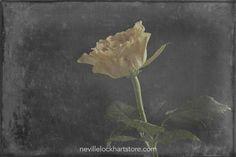 Yellow Rose, Fine Art,